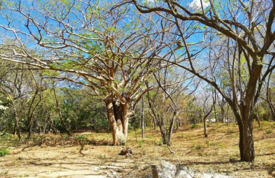 Large Commercial Lot at Tamarindo Beach - Trees 1
